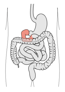 duodenitis (small intestine) causes, symptoms and treatment – phaa, Skeleton
